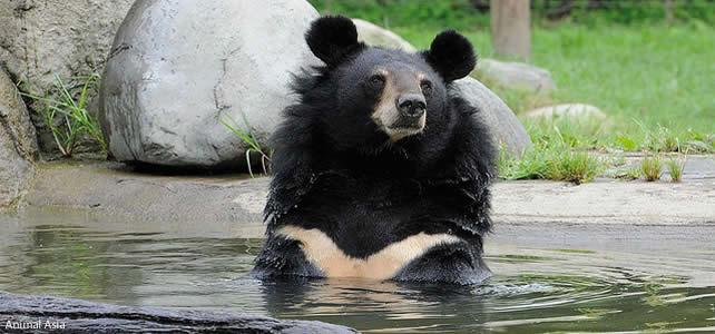 Ours noir d'Asie